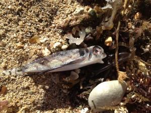 dead flying gurnard washed up on beach in Waikiki.
