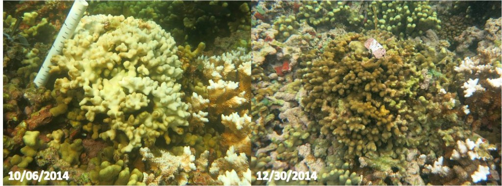 coral before and after bleaching