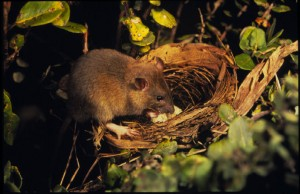 pet rat in nest