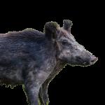 Eurasian boar (c) Fischer.H