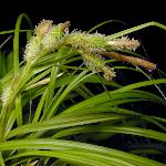 Carex wahuensis (c) G.D. Carr