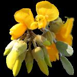 mamane flower