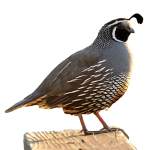 California quail (c) Don DeBold