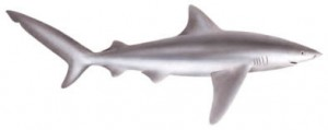 Image of Bignosed Shark