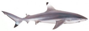 Image of Blacktip Reef Shark