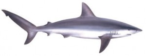 Image of Galapagos Shark