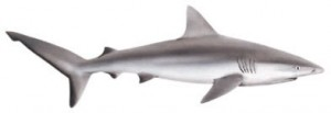 Image od Gray Reef Shark