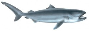 Image of Megamouth shark