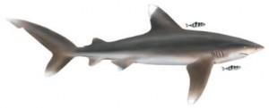 Image of Oceanic Whitetip Shark