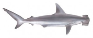 Image of Scallop Hammer Shark