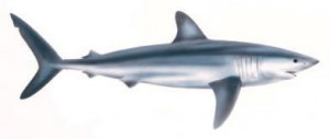 Image of Shortfin Mako Shark