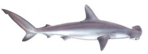 Image of Smooth Hammerhead Shark