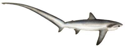Hawaiʻi Sharks Shark Identification Guide