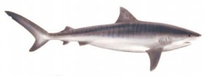 Image of Tiger Shark