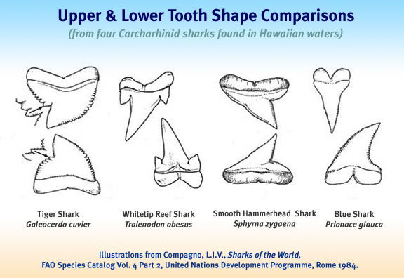 Hawaii sharks teeth jaws the tiger shark has notched serrated teeth on both jaws the mako shark has dagger like teeth and the white shark has serrated triangular teeth ccuart Image collections