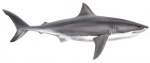 Image of White Shark