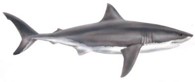 image of white shark