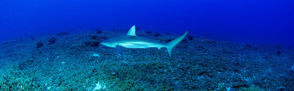 Hawaiʻi Sharks