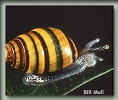 Achatinella sowerbyana - Bill Mull