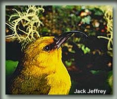 Akiapolaau-JackJeffrey