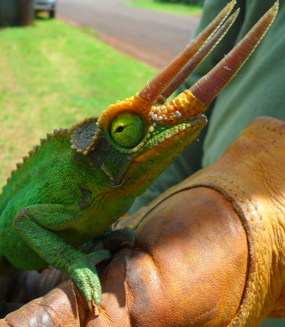 A Jackson's chameleon caught on Kauai in 2013. Jackson's chameleons are designated as injurious wildlife due to their impacts on native species, including snails. Photo credit: KISC
