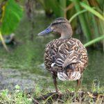 Hawaiian duck photo