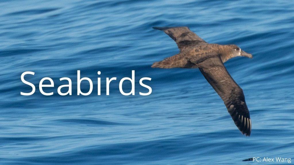 An image of a black-footed albatross, kaʻupu