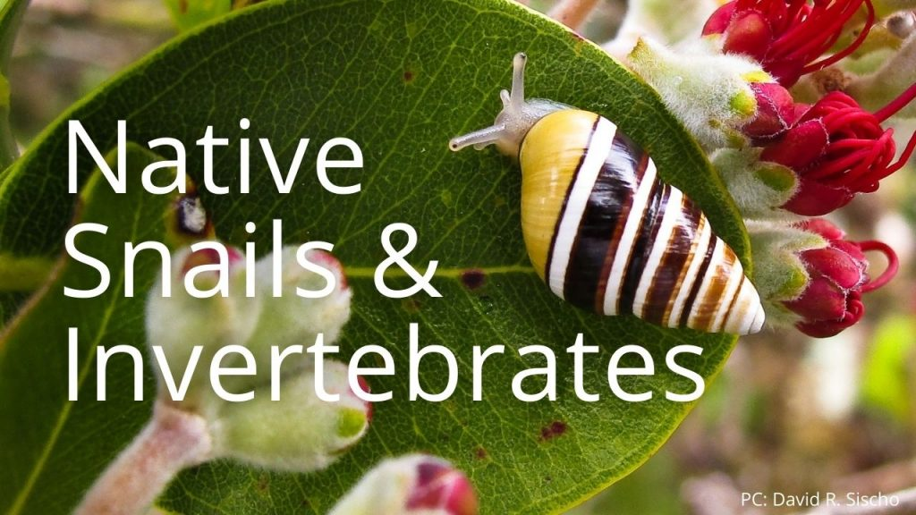 An image of a tree snail linking to pages leading to info on native snails and invertebrates