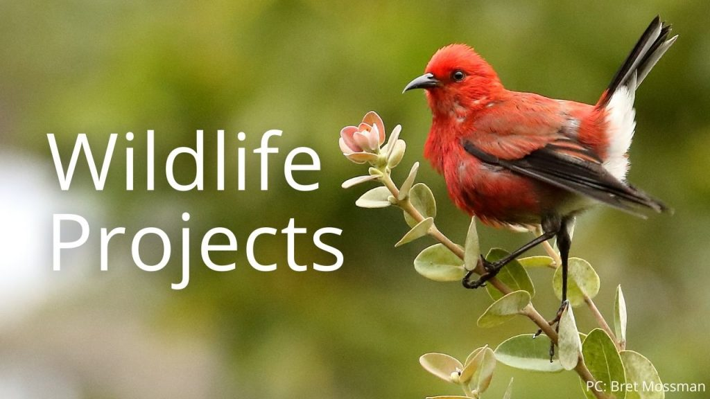 An image of an ʻapapane linking to a page on Wildlife Projects