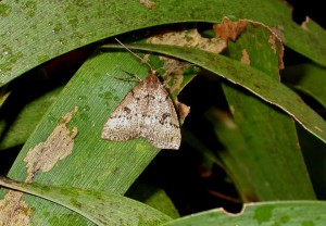 Scotorythra Paludicola Adult