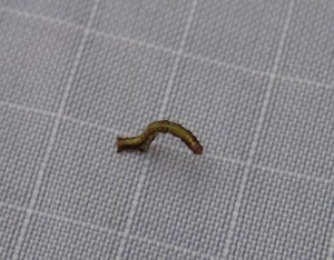 Scotorythra Paludicola Caterpillar