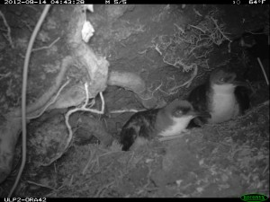 Photo of two Newell's Shearwaters at their burrow taken with an infra-red camera. Photo by Kauai Endangered Seabird Recovery Project.