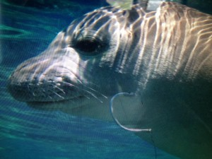 Photo of hooked seal, RL06