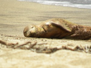 Photo of emaciated seal on Molokai now being sought