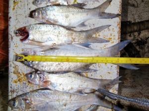 Undersized fish. DOCARE photo.