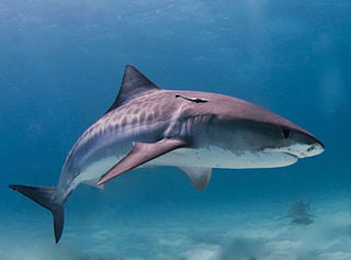 Tiger shark Photo: Albert Kok