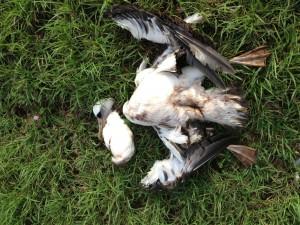 Photo credit: Gina Ord (Dead Albatross)
