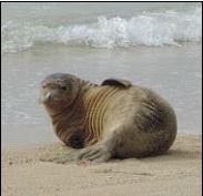 """This seal known as """"U`ilani"""" with red flipper tags N36/N37 was born in May 2013."""