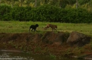 Have seen these dogs in the Moloa`a area ...