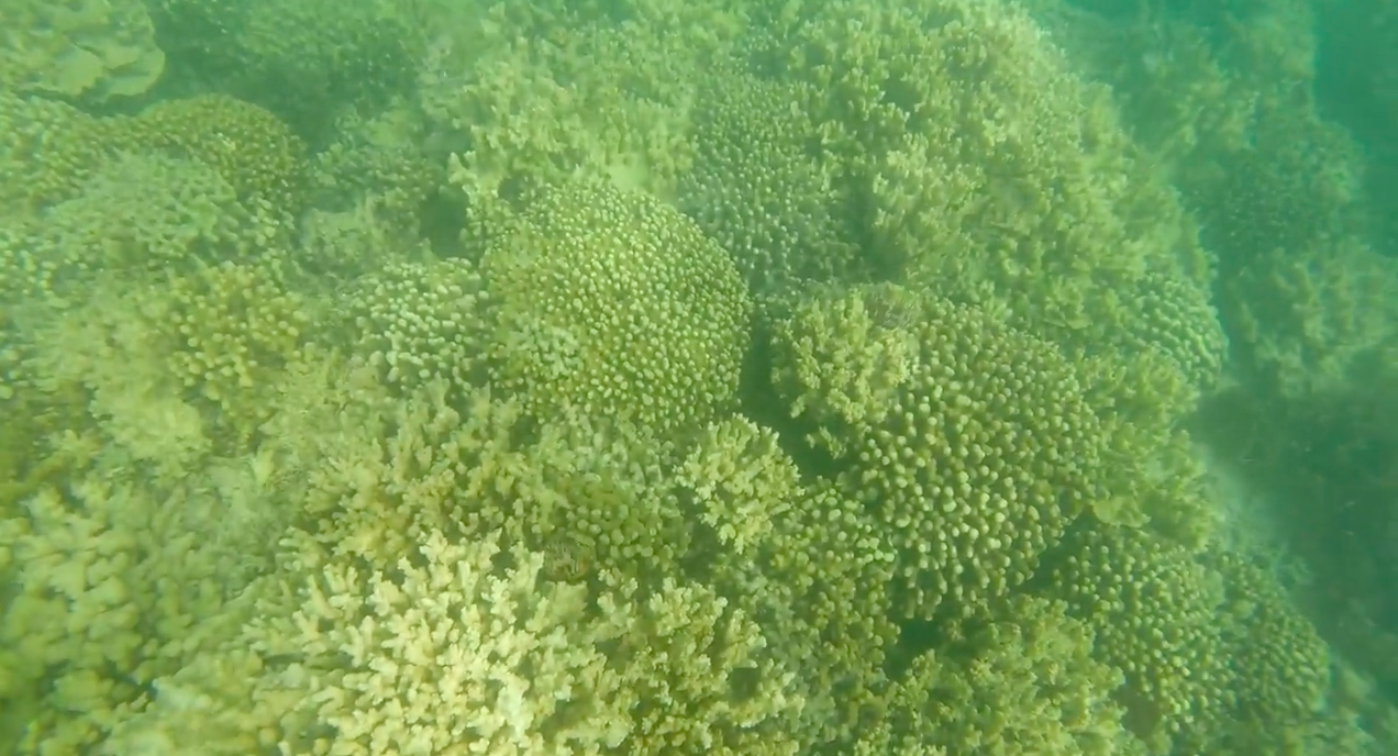 Coral-At-Kaneohe-Disease