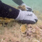 Black-Band-Coral-Disease-Update
