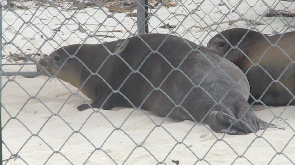 Hawaiian Monk Seal Return to Papahanaumokuakea