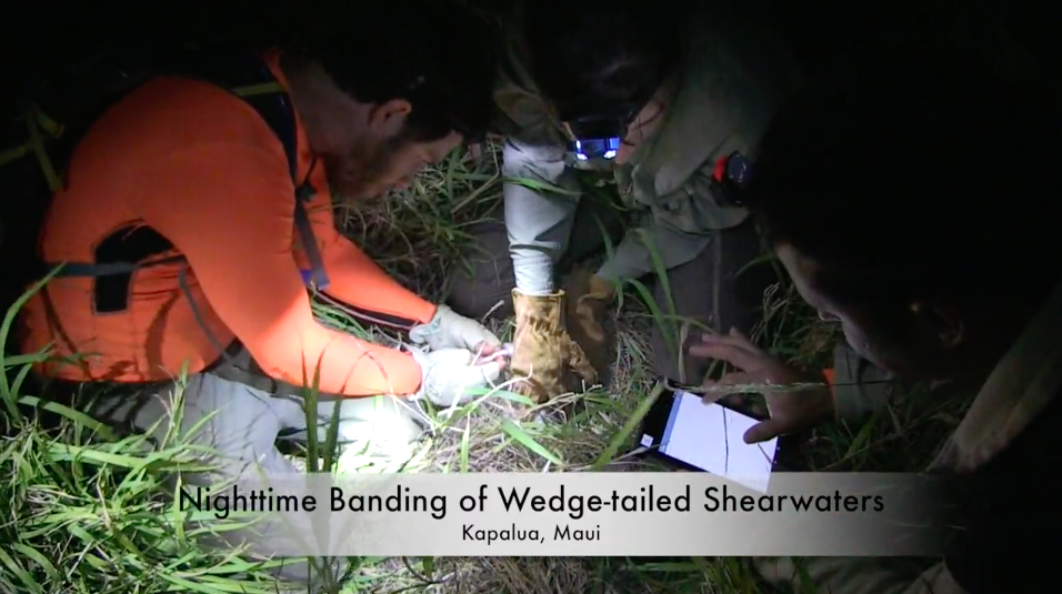 Wedge-Tailed-Shearwater-Banding