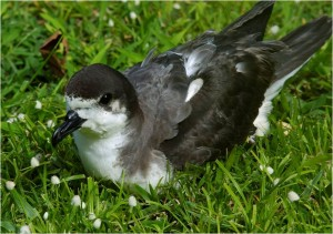 Hawaiian Petrel by Jim Denny