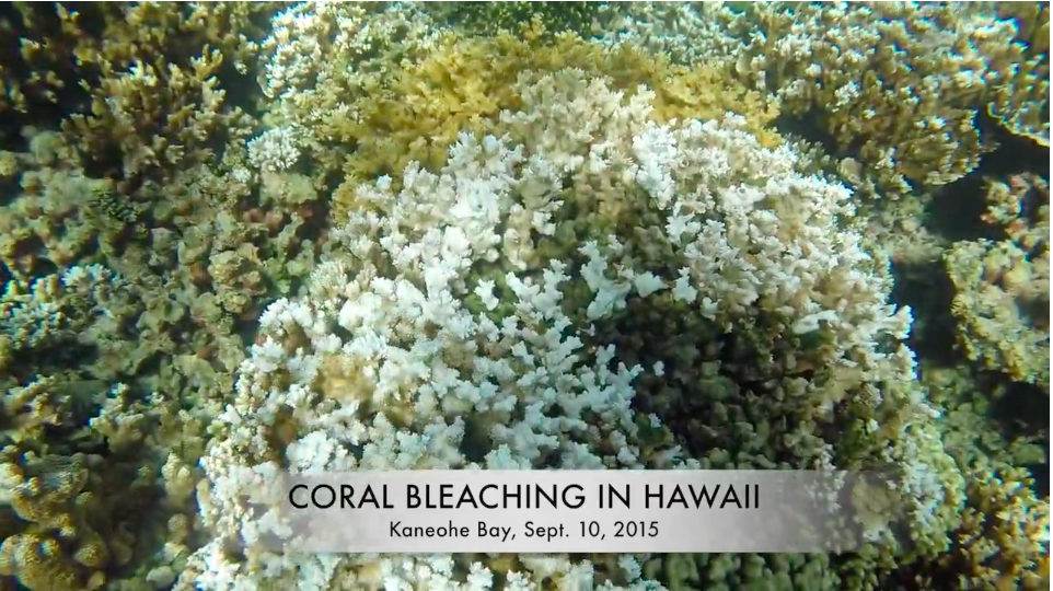 Picture of Coral Bleaching In Hawaii at Kaneohe Bay