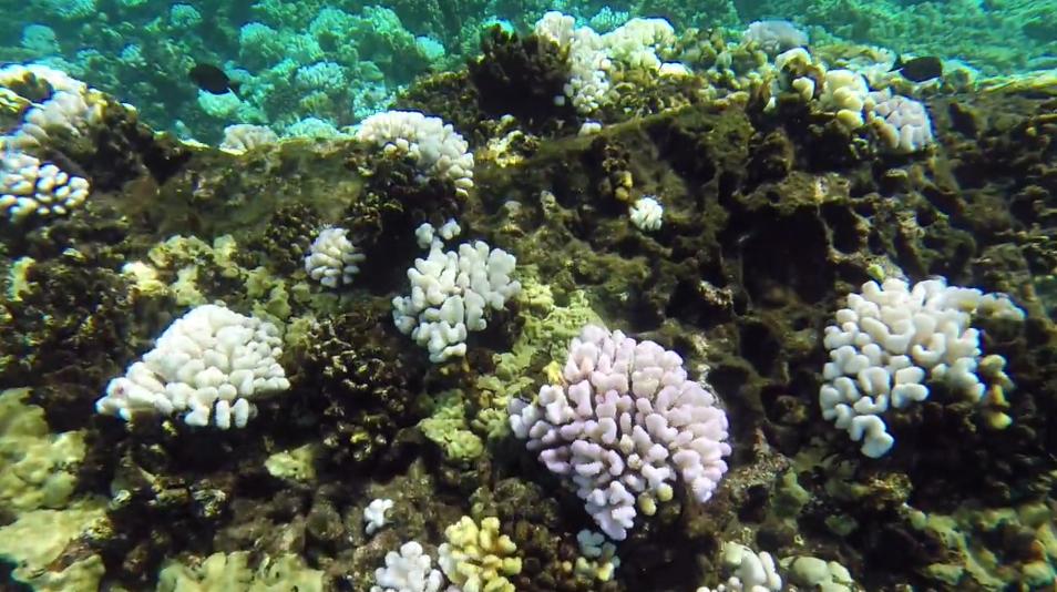 DAR Molokini Coral Bleaching