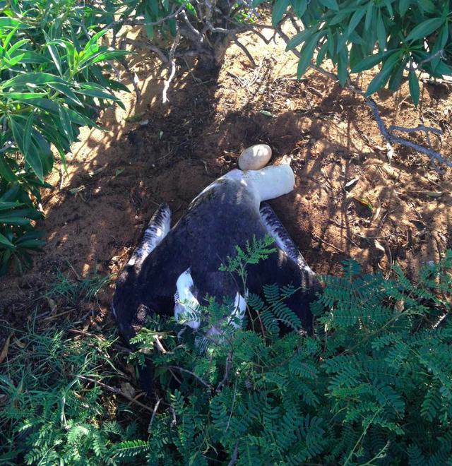 Albatross-killed-at-Kaena