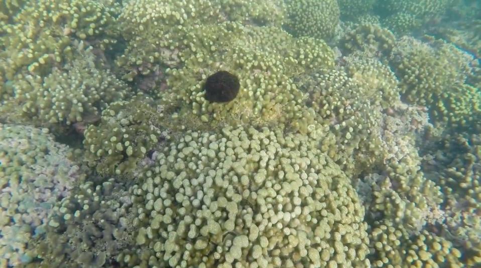 Urchin Release