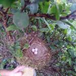 Kauai-Forest-Bird-Egg-Collection