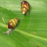 DLNR & You - Endangered Tree Snails